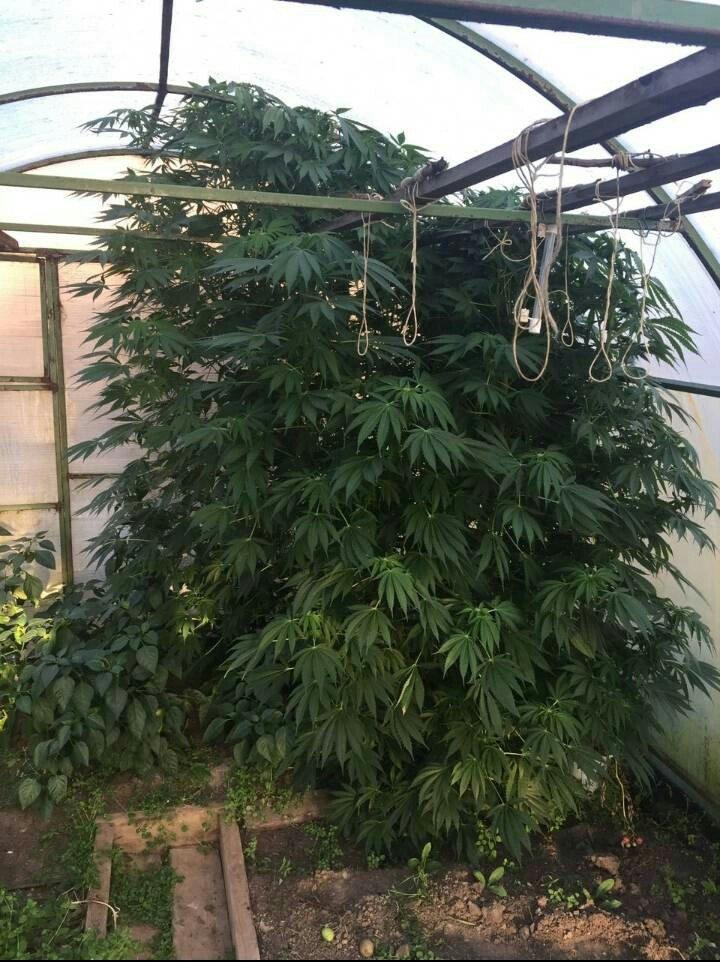 Меня задержали с коноплей как выращивают марихуану автоцвет